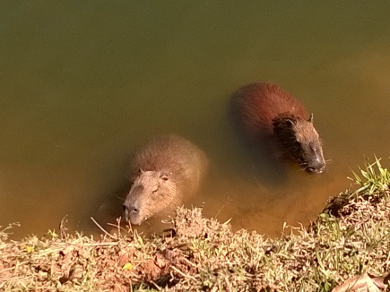I also sighted the world's largest rodent, the Capybara! Think of it as a gigantic guinea pig.